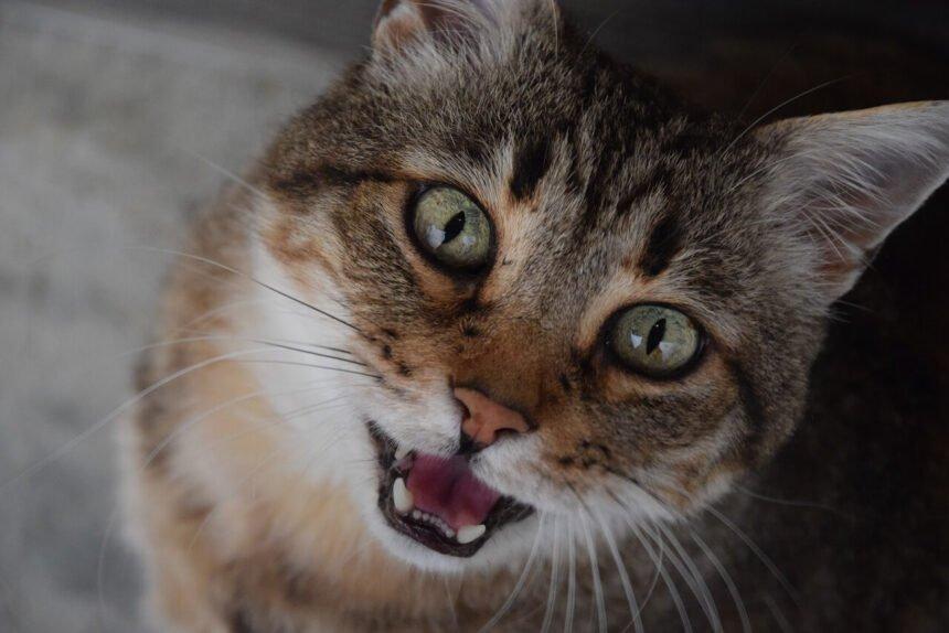 kat miauwt veel