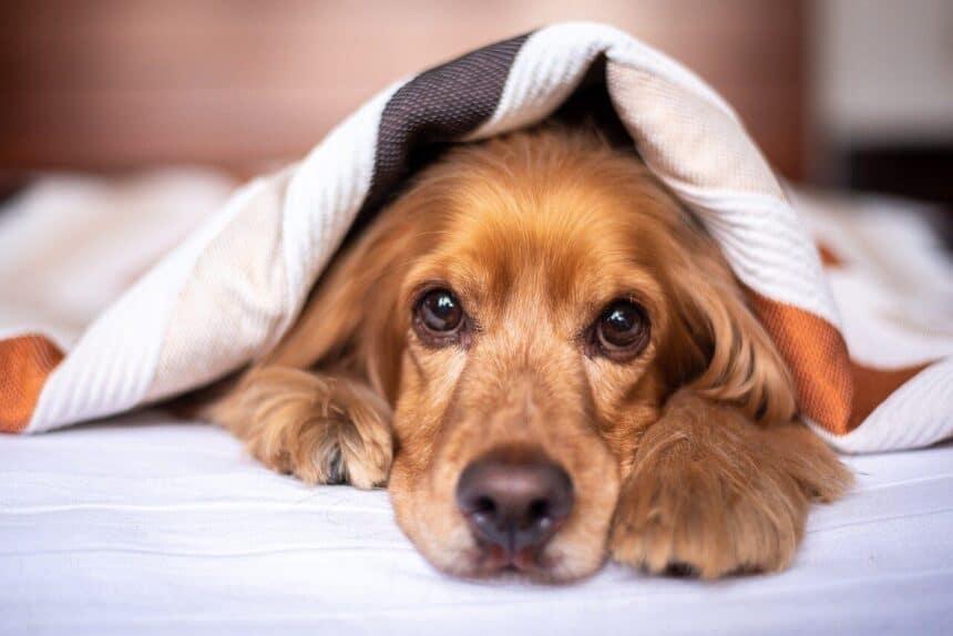 ziekte van cushing hond